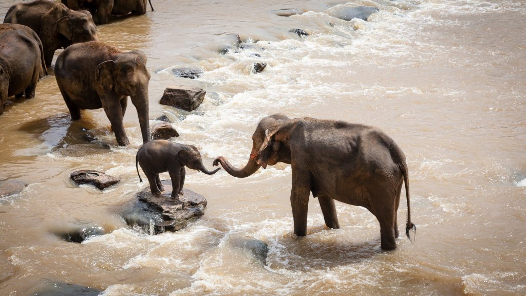 Group of Elephants helping baby elephant cross river